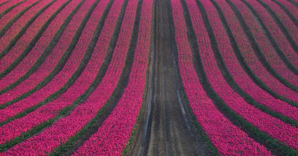 Pink Tulip Field flowers tulips