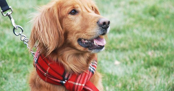 Maggie Would Chew A Scarf To Pieces Maybe Next Year Golden Retriever Your Dog Dogs