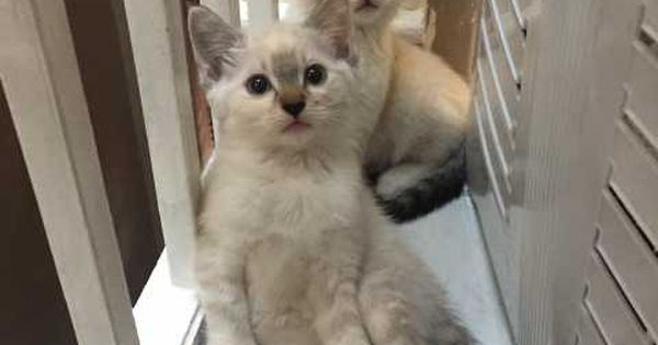 Three Stunning White And Grey Kittens For Sale Grey Kittens For Sale Kitten For Sale Kittens