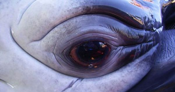 Whale eye   Reference   Pinterest   Eye and Animal