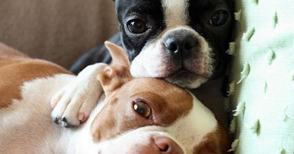 Such heartwarmingly precious Boston Terrier love