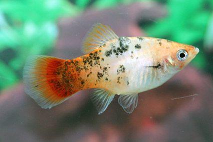 Platy Xiphophorus Maculatis Aquarium Fish Saltwater Aquarium Setup Beautiful Fish