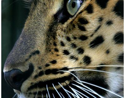 Amur leopard, the rarest cat on earth. There are about 30 left