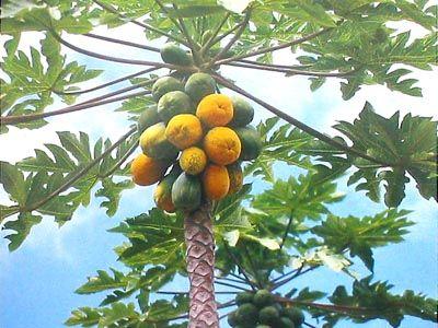 Papaya Trees Were Fairly Easy To Grow As I Recall The Fruit Was Delicious Papaya Tree Papaya Plant Fruit Garden
