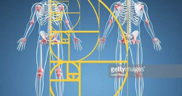 Human Skeleton With The Golden Ratio Human Skeleton Golden Ratio Human Skeleton Bones