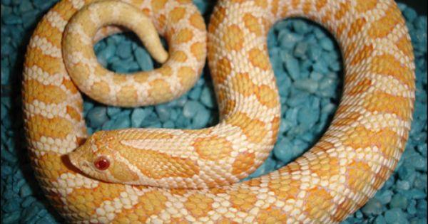 Snake Lovers Flour Albino Western Hognose Colorful Snakes Snake Lovers Albino