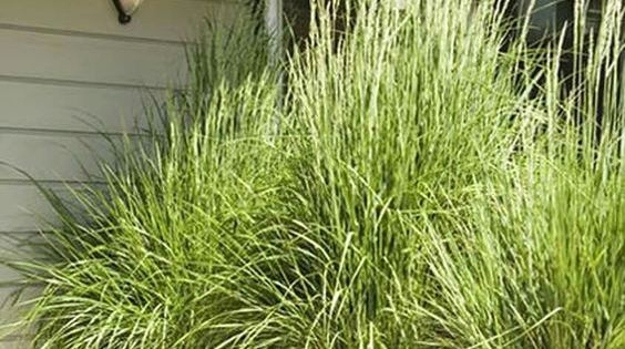 Plant lemon grass in big pots for the patio it repels - Ahuyentar mosquitos exterior ...