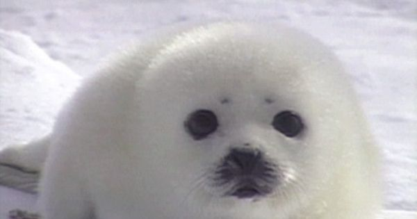 Harp Seal Pups: Like Real Life Stuffed Animals | Baby Animal Zoo