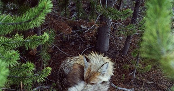 Sleeping Fox, Kevin Russ