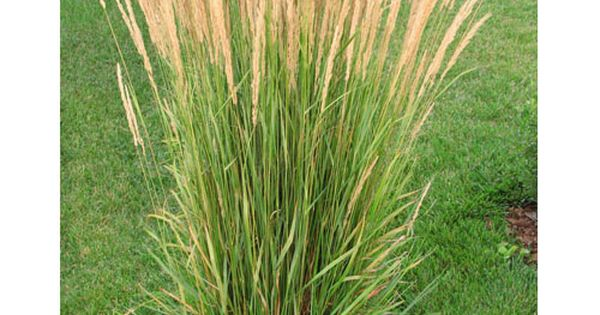 Blooming now deer resistant karl foerster feather reed for Ornamental grass that looks like wheat