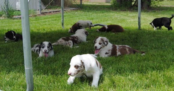 Border Collie Kelpie Australian Shepherd Cross Pups For Sale For More Information Click On The Image O Australian Shepherd Dogs For Sale Horses For Sale