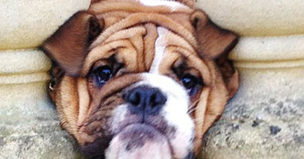 Some Help Please Bulldog Breeds Baby Dogs Bulldog