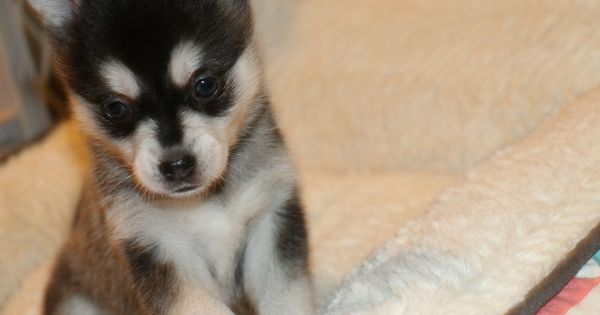 Black And White Alaskan Klee Kai Miniaturehusky Brown Eyed Black And White Miniature Husky Puppy Alaskan Klee Kai Alaskan Dog Bear Dog Breed