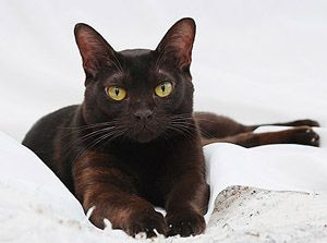A Sweet Natured Burmese Cat Cat Breeds And Types Of Cats Burmese Cat Cat Breeds Tabby Cat