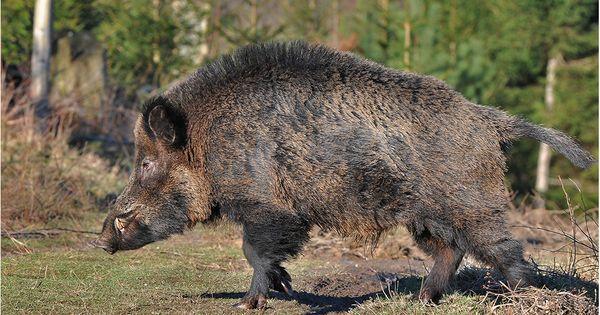 Perfect Eine imposante Erscheinung von Frank Uwe Andre Wildschweine u Warthogs Pinterest
