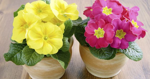 Plant Care Guide How To Grow And Care For A Primrose Plant