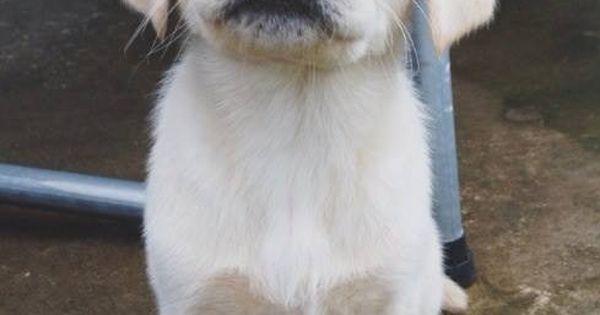 Puppy golden retriever lab