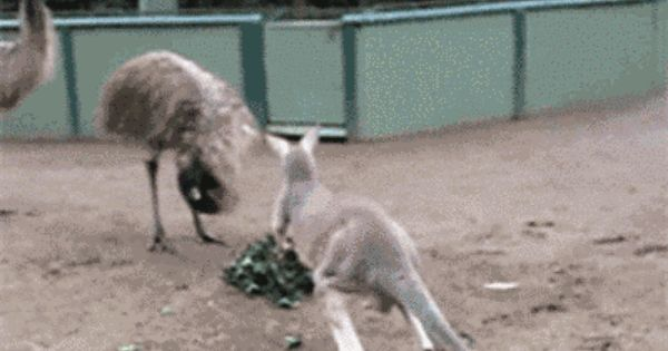 15 Of The Most Legendary Aussie Gifs Funny Animal Videos Funny