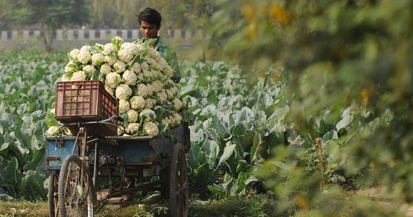 مزارع يحمل محصوله من القرنبيط لبيعه في سوق في مدينة نويدا الهندية التقارير تفيد بانخفاض حاد في اسعار الخضراوات التي تباع بالجملة Instagram Posts Instagram Wood
