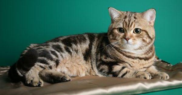 Latvijas Felinologiska Asociacija Pretty Cats Cat Breeds Cat Pics