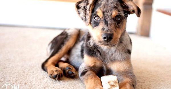 Australian Shepherd Boxer Mix Photo Shepherd Mix Puppies Lab