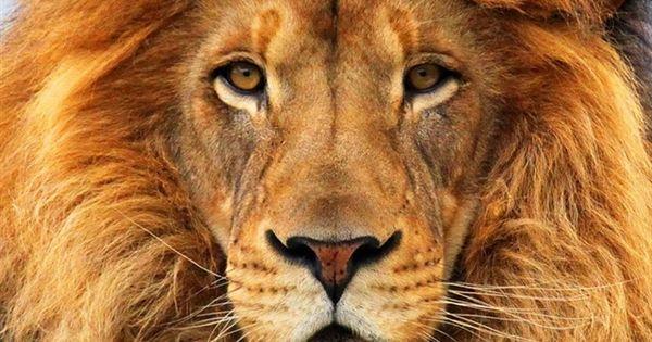 8k Animal Wallpaper Download: Lion Face Close-up IPhone 4 (4S) Wallpaper - 640x960