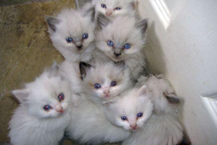 Ragdoll Kittens For Sale New York Ny Niedliche Tierbabys