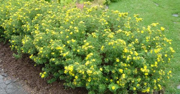Potentilla fruticosa beautiful low maintenance shrub for Low maintenance plants shrubs