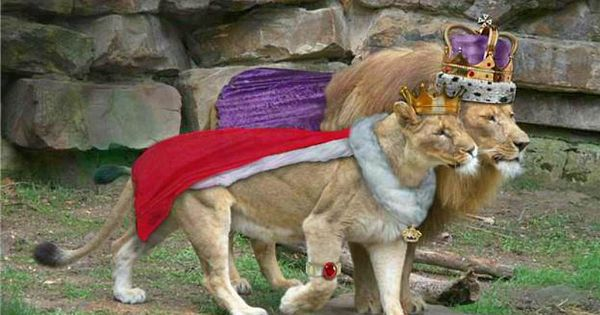 Lion King And Queenlol Animals