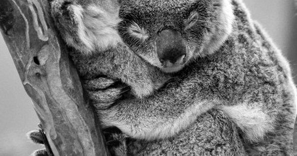 Koala Bears photo KoalaBear