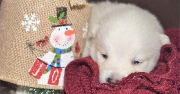 Pomeranian Siberian Husky Mix Puppy For Sale In Mankato Mn Adn