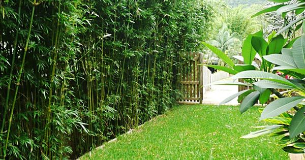 Bamboo Privacy Hedge bamboo hedge. landscape