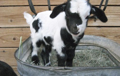 Good Grief!! SO cute! I've always wanted a goat, but if I