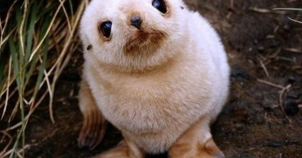 Baby Seal - cute baby animals / pup