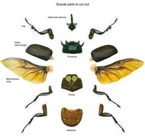 Escarabajos Para Niños Niños Escarabajo Escarabajo