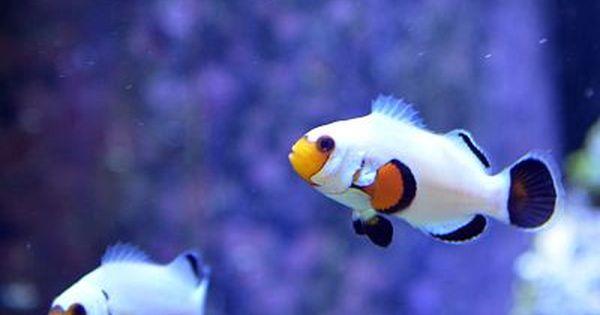 Wyoming White Clownfish Clown Fish Saltwater Fish Tanks Marine Fish