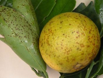Identifying And Treating Greasy Spot Fungus Citrus Trees Container Gardening Fruit Citrus