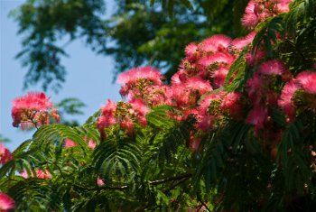 Flame Mimosa Tree For Sale Purple Flowering Tree Mimosa Tree Flowering Trees