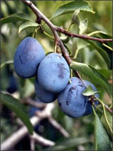 Italian Prune Plum Scientific Binomial Name Prunus Domesticus
