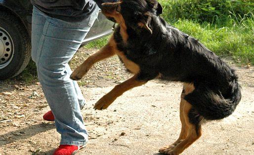 Anspringen Abgewohnen Ist Vor Allem Bei Grossen Hunden Notig Hunde Hunde Welpen Und Hunde Erziehen
