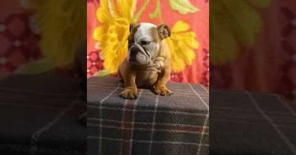 I Have English Bulldog Puppies For Sale 9711272629 In India At Delhi Bulldog Puppies For Sale English Bulldog Puppies Pitbull Puppies