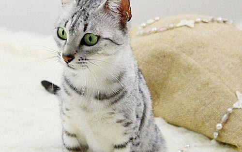 Kot egipski mau Zahira cat egyptian mau Kot egipski