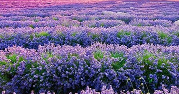 Bluebonnets in Austin, Texas -resemble lavender fields in France - so extremely