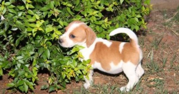 Beagle X Jack Russel Jackabee Puppies Jack Russell Cute Little Puppies Puppies