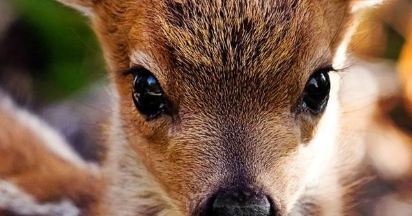 "prettypicsdelightfultips: "" lolcuteanimals: "" Beautiful little fawn. "" Such a beautiful animal!"