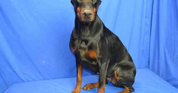 Beautiful 7 Yr Old Female Doberman Looking For A Forever Home Currently Located In St Louis Animal Shelter Humane Society Find Pets