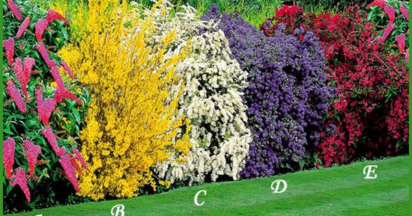 a combination of flowering shrubs planted in a row to create a colorful hedge a shelter for. Black Bedroom Furniture Sets. Home Design Ideas