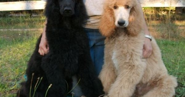 Rivers Edge Standard Poodles Standard Poodle Poodle Puppy