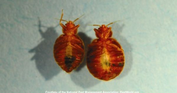 Male And Female Bed Bugs Bed Bugs Prevention Avoid Bed Bugs Bed Bugs