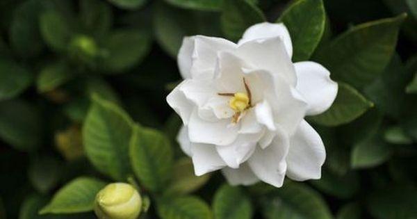 クチナシの花言葉が女性を誘う時にぴったりな7つの理由 クチナシ 花 クチナシ 6月の誕生花